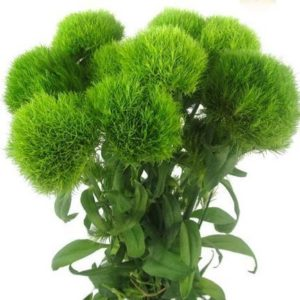 Dianthus (Green Trick)